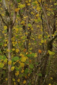 Hazel trees (Corylus avellana) with their leaves just beginning to change colour at Inverfarigaig.