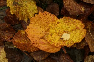 Fallen hazel leaves with a small downy birch (Betula pubescens) leaf on top of one.