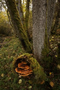 Another view of the cluster of alder bracket fungi (Mensularia radiata) growing out of the broken stem. The other group of the fungi can be seen lower down on the trunk.