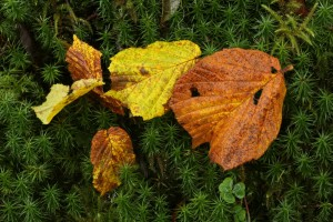 Another natural artwork created by the pattern of fallen hazel leaves on common haircap moss (Polytrichum commune).