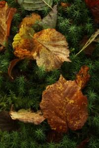 Fallen hazel leaves on a carpet of common haircap moss (Polytrichum commune).
