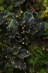 Another view of the dog lichen (Peltigera membranacea). The reddish-brown parts of the edge of the lobes are the apothecia, which release the spores of the fungal partner in the lichen.
