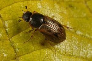Beetle (Aphodius obliteratus) on a fallen hazel leaf.