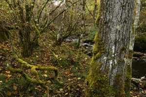 Moss-covered trees beside the small burn at Inverfarigaig.