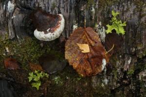 Bracket fungus (probably Ganoderma sp.) amongst tree lungwort (Lobaria pulmonaria) and a fallen hazel leaf on the log.
