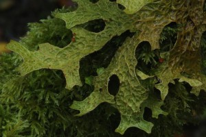 Closer view of the tree lungwort (Lobaria pulmonaria) on the fallen branch of the hazel tree.
