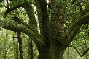 Moss-covered old oak tree (Quercus petraea) in temperate rainforest, Glasdrum Wood National Nature Reserve.