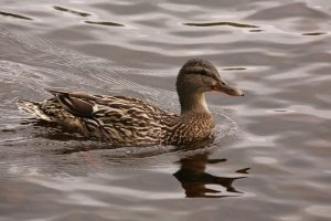 Female mallard (Anas platyrhynchos) on Loch an Eilein in the middle of June, Rothiemurchus, Cairngorms National Park.