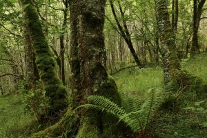Alder trees (Alnus glutinosa) covered in moss in the temperate rainforest of Glasdrum Wood National Nature Reserve.
