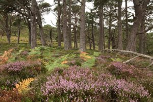 Heather (Calluna vulgaris) in flower, with bracken (Pteridium aquilinum) changing colour amongst Scots pines (Pinus sylvestris) in Inchvuilt Wood in Glen Strathfarrar in early September.