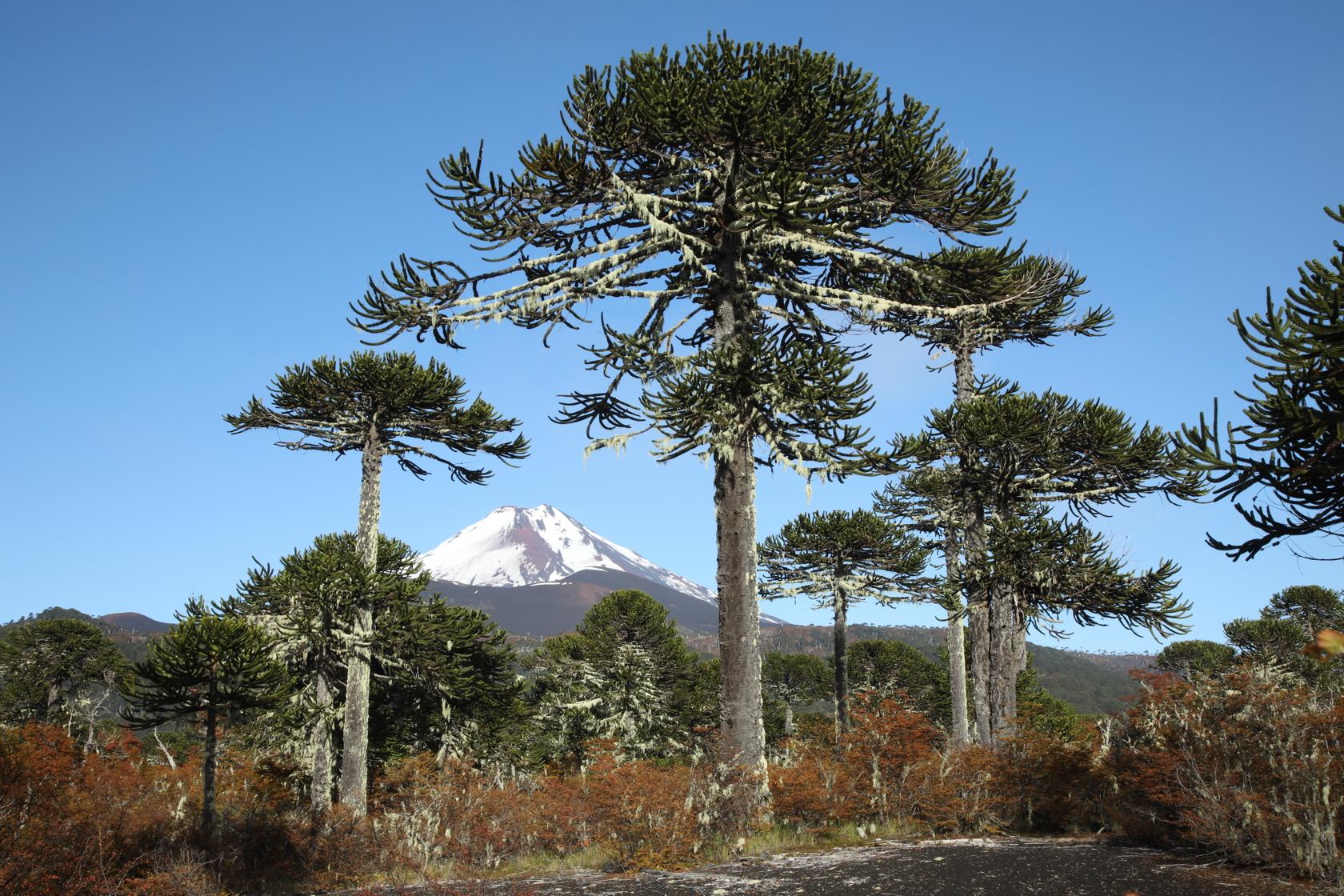 тебе деревья южной америки фото комментарий посту картинки