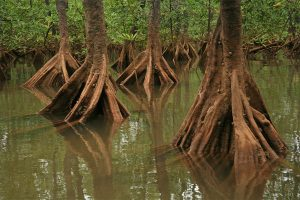 Piñuelo mangroves (Pelliciera rhizophorae)