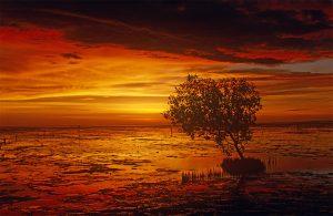 Mangroves (Avicennia marina)