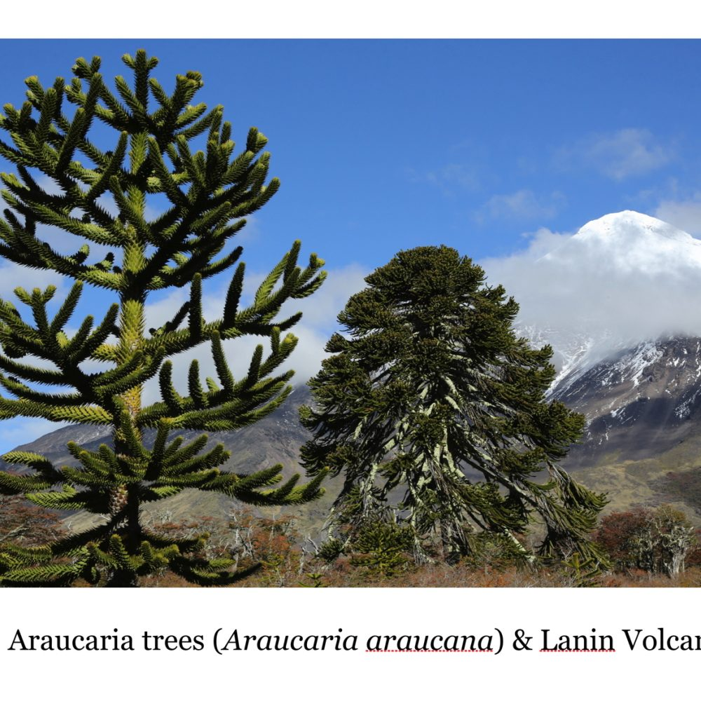 Araucaria: Ancient Forests of the Andes