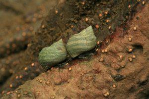 CO02138 Snails on pinuelo mangr ove (Pelliciera rhizophorae)
