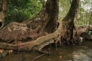 Buttresses of nato mangroves (Mora megistosperma)
