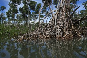 Red mangroves (Rhizophora mangle)