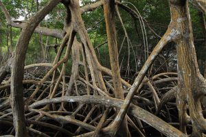 Stilt roots of red mangroves (Rhizophora mangle)