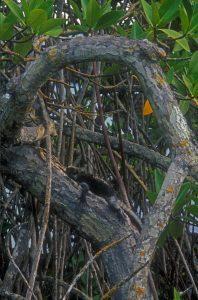 Marine iguana; Amblyrhynchus cristatus; mangrove; Rhizophora mangle; Galápagos Islands; Ecuador