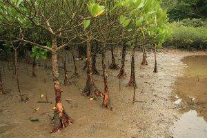 Spurred or yellow mangroves (Ceriops tagal)