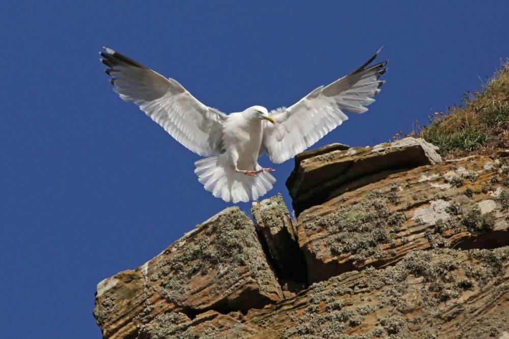 Herring gull, Larus argentatus, seagull, Moray coast, sandstone cliff
