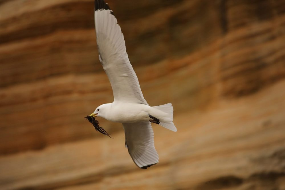 common gull; gull; nesting; bird in flight; Scotland; coast