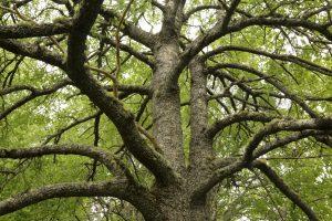Aspen tree beside Loch an Eilein, Rothiemurchus