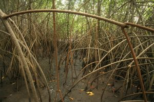 Stilt roots of mangroves (Rhizophora sp.) at low tide