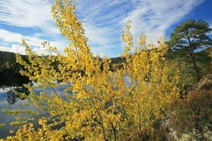 Aspens in autumn beside Loch Benevean