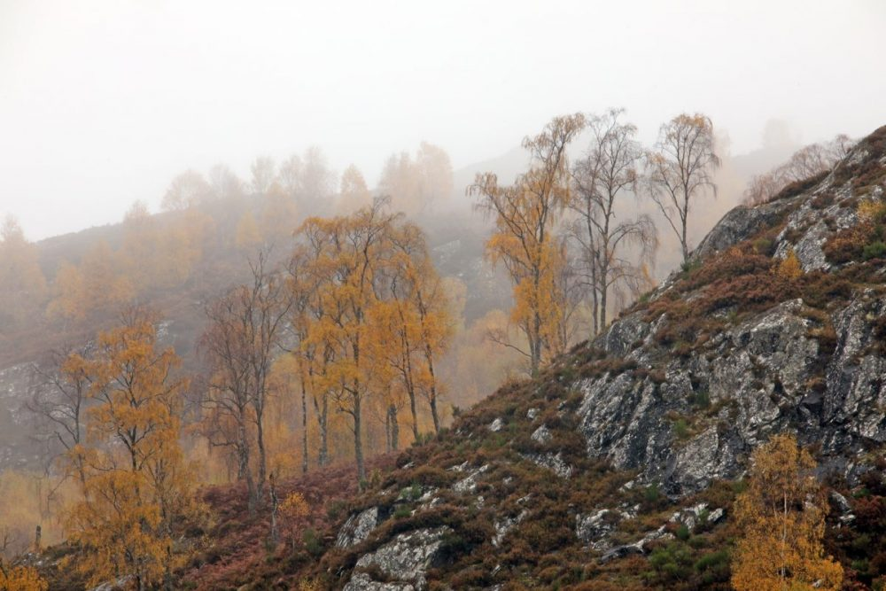 Autumn; birch trees; autumn colours; Caledonian Forest; mist