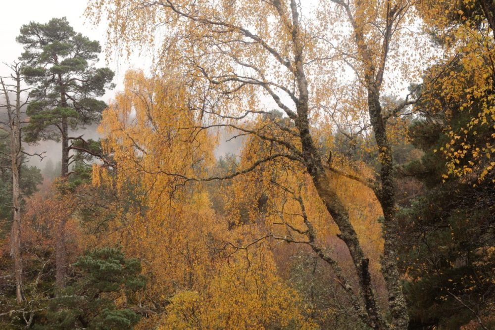 Autumn colours; Scots pines, birch trees; mist; Caledonian Forest, Scottish Highlands