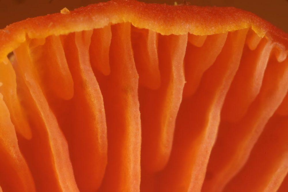 mushroom; fungus; gills; wax cap fungus; bright red fungus, grassland fungus