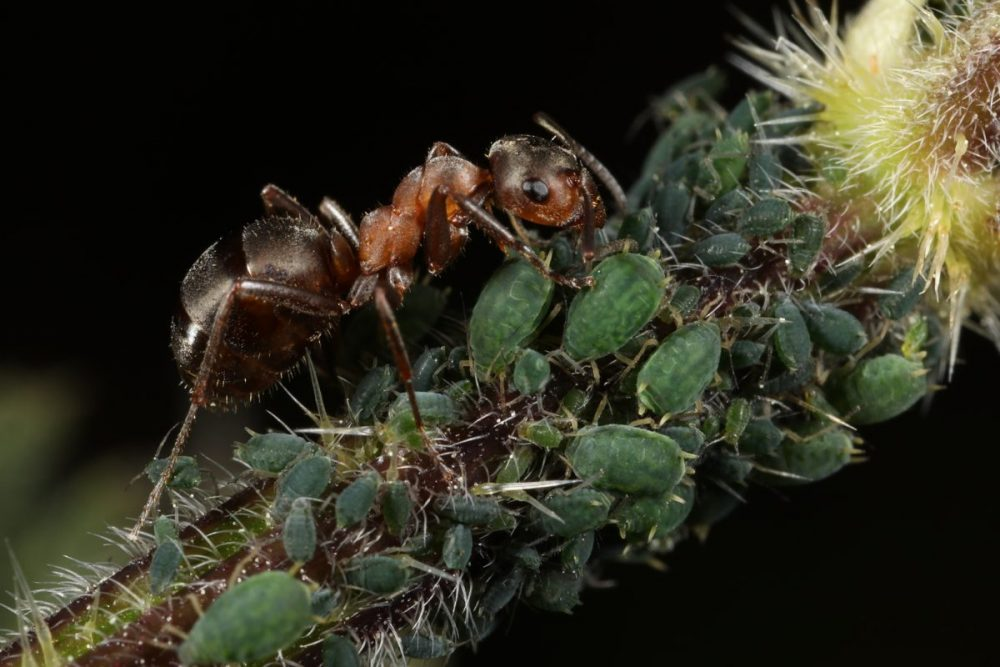 wood ant; slavemaker ant; aphids; mutualistic relationship; honeydew harvesting, stinging nettle