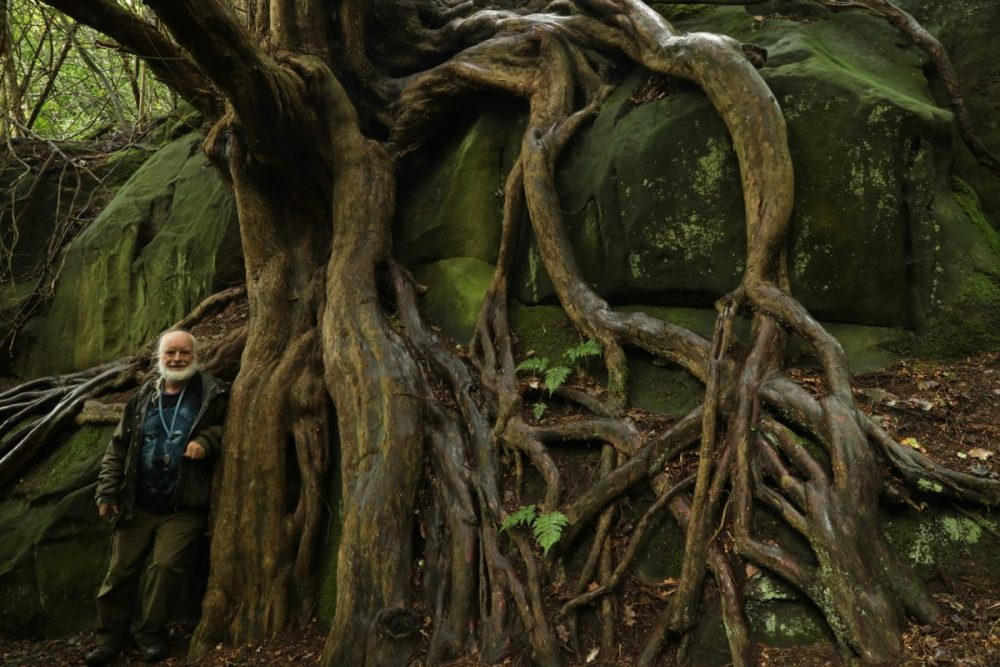 yew tree; Taxus baccata; roots, sandstone