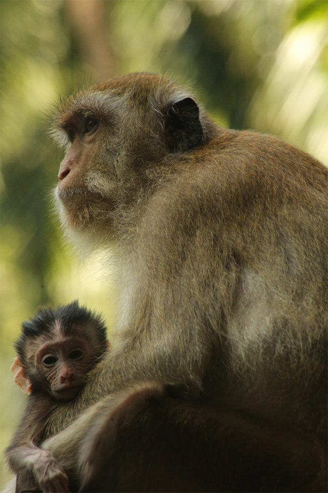 Mother and baby crab-eating or long-tailed macaques (Macaca fascicularis), Railay, near Krabi, Thailand.