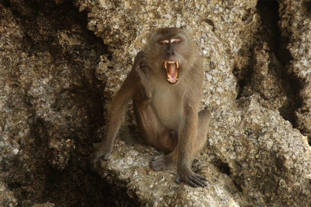 Male crab-eating macaque or long-tailed macaque (Macaca fascicularis) baring its teeth and scratching itself, on limestone rock cliff, Tha Lane Bay, Thailand.