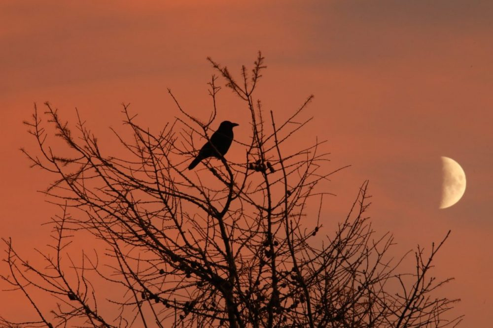 crow sunset moon dramatic light winter
