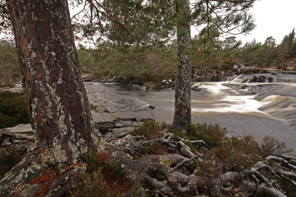 Scots pines, Caledonian Forest, ecological restoration, rewilding