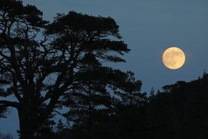 Old Scots pine silhouetted against the rising full moon, Glen Affric, Scotland.