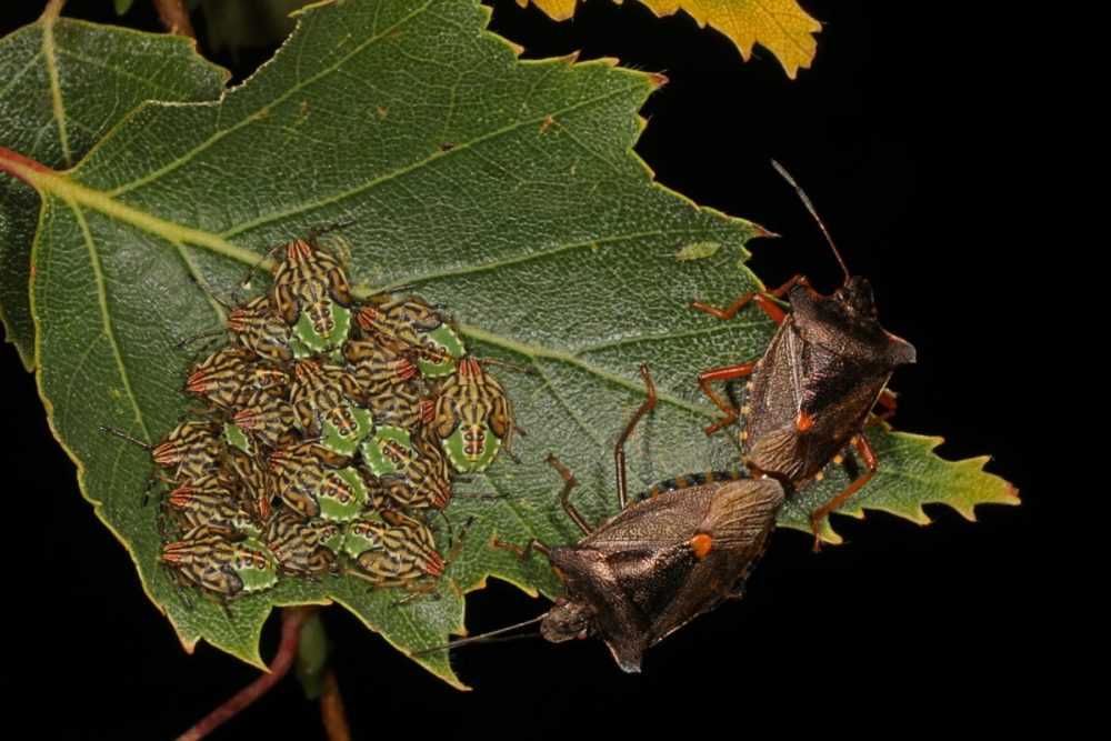 true bug, parent bug, shield bug, insects mating, birch, bug nymphs,