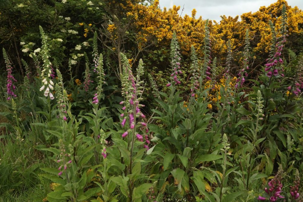 Flowers; foxgloves; gorse; elder tree