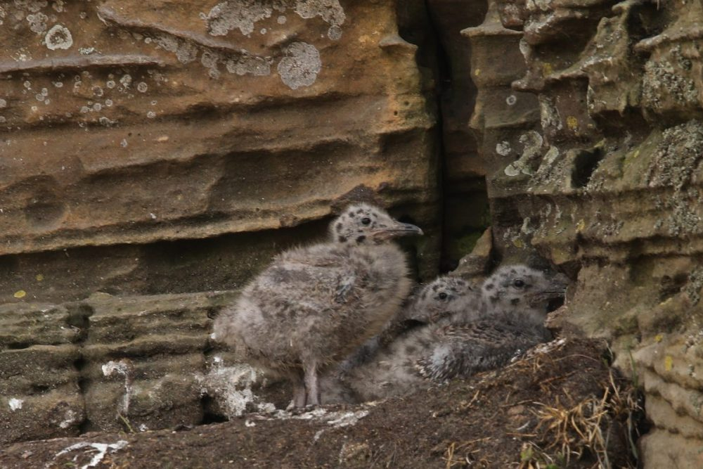 Herring gull; chicks; birds breeding; Moray coast: nest site; wildlife; Scotland.