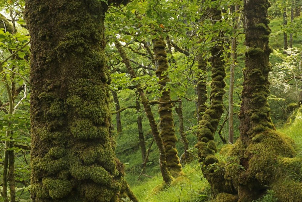 temperate rainforest, Celtic rainforest, oak trees, moss, Ariundle NNR, Lochaber, Scotland, Sunart Oakwoods
