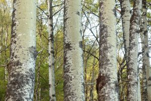 Trunks of aspen trees (Populus tremula) showing their green colour