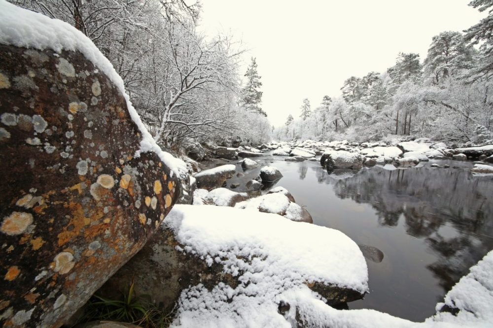 Caledonian Forest, snow, winter, Scots pines, lichens
