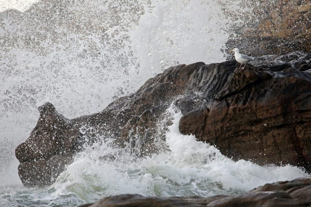 Herring gull; coast; breaking waves; sandstone; Moray coast