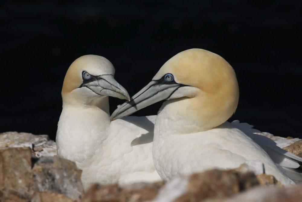 gannet; bird; seabird