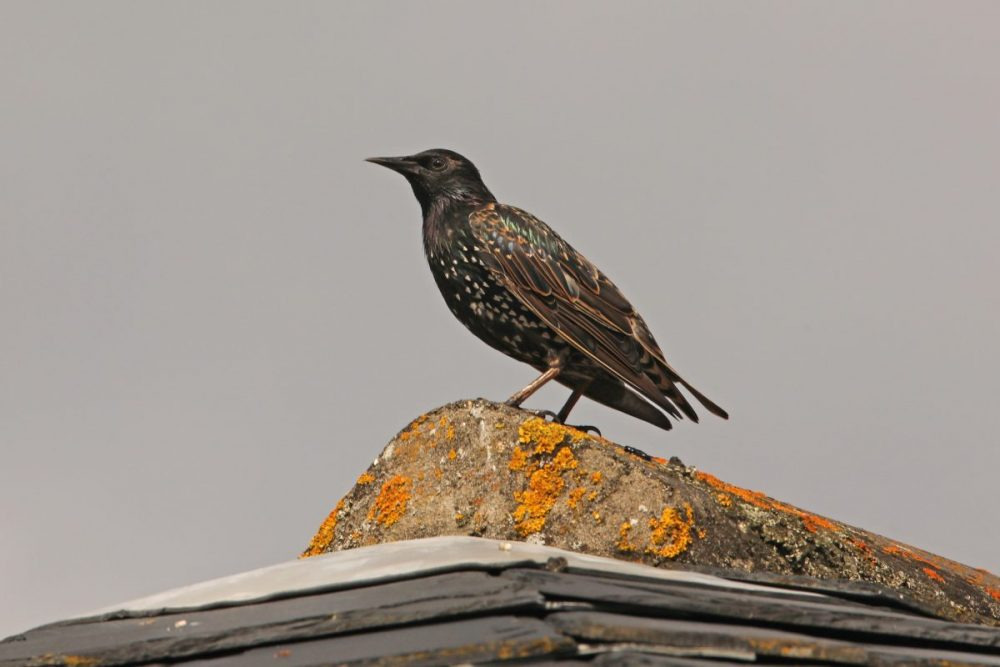 Starling; Sturmus vulgaris; bird