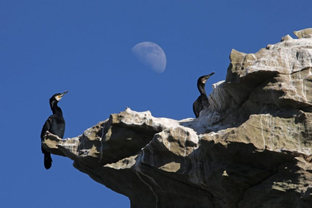 Cormorant; Phalacrocorax carbo; Moray Coast; Sandstone; moon; blue sky