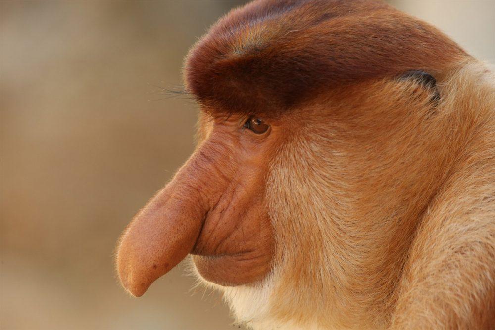 Male proboscis monkey (Nasalis larvatus), Labuk Bay Proboscis Monkey Sanctuary, Sabah, Borneo, Malaysia.